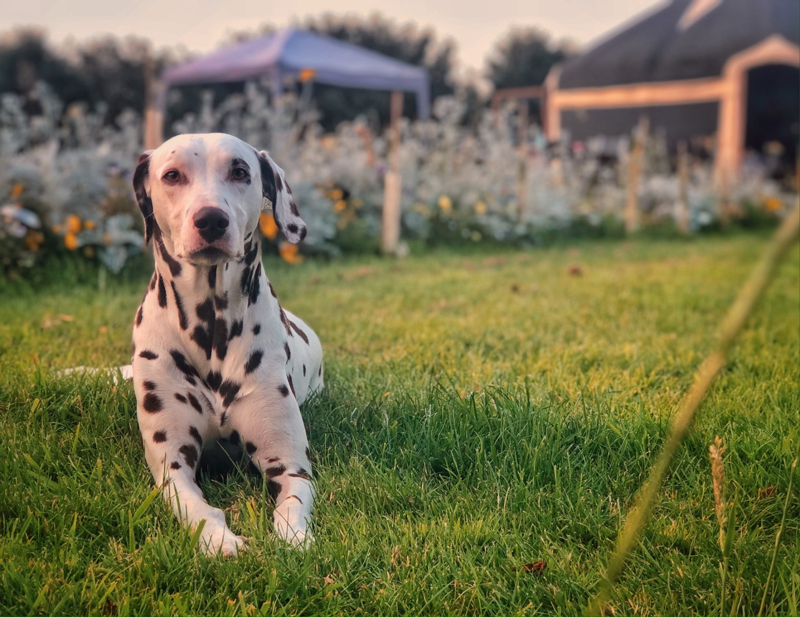 Dalmatian dog on glampsite