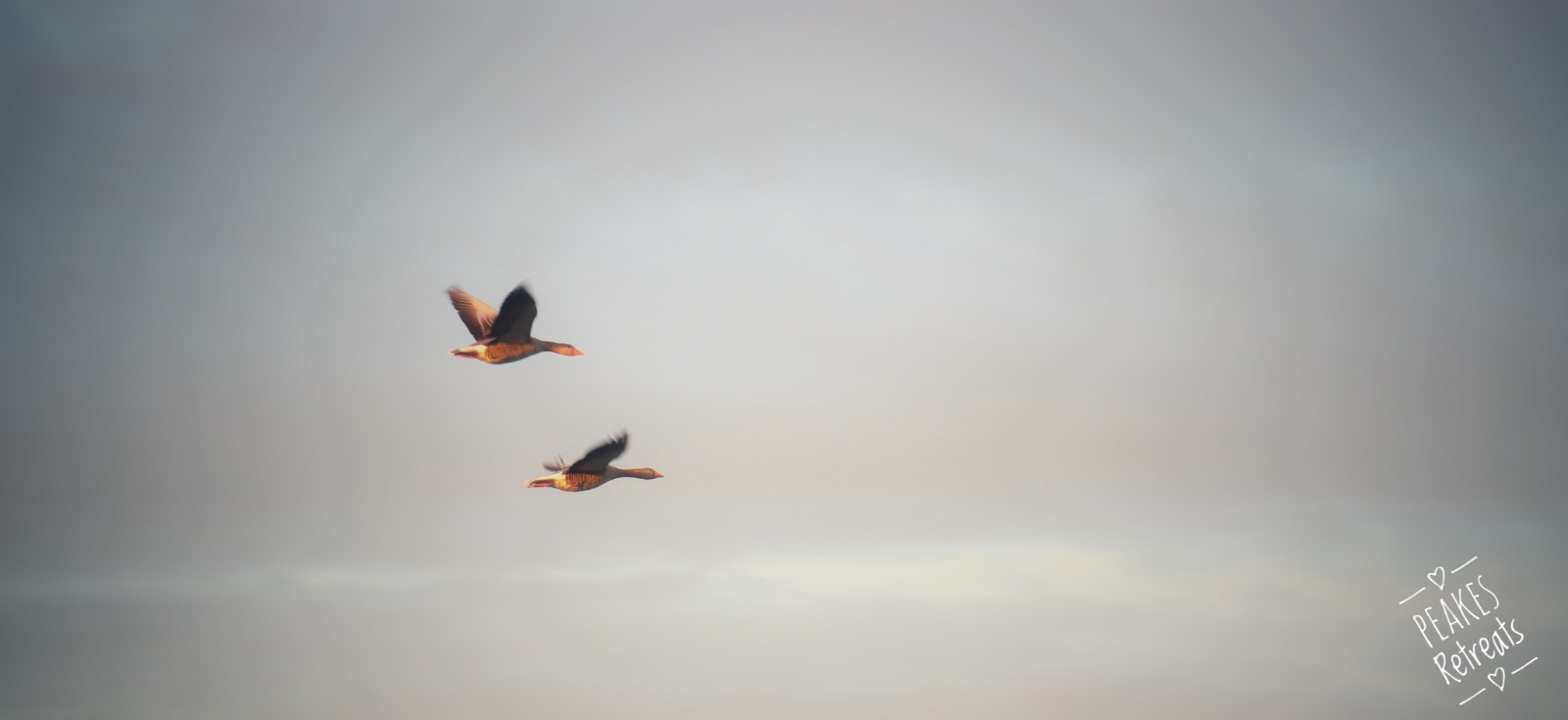Geese flying in a morning sky