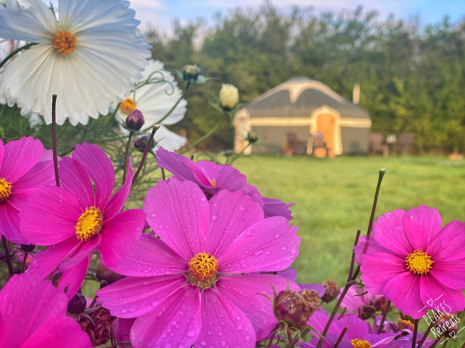 Cosmos flowers and yurt on bright sunny day