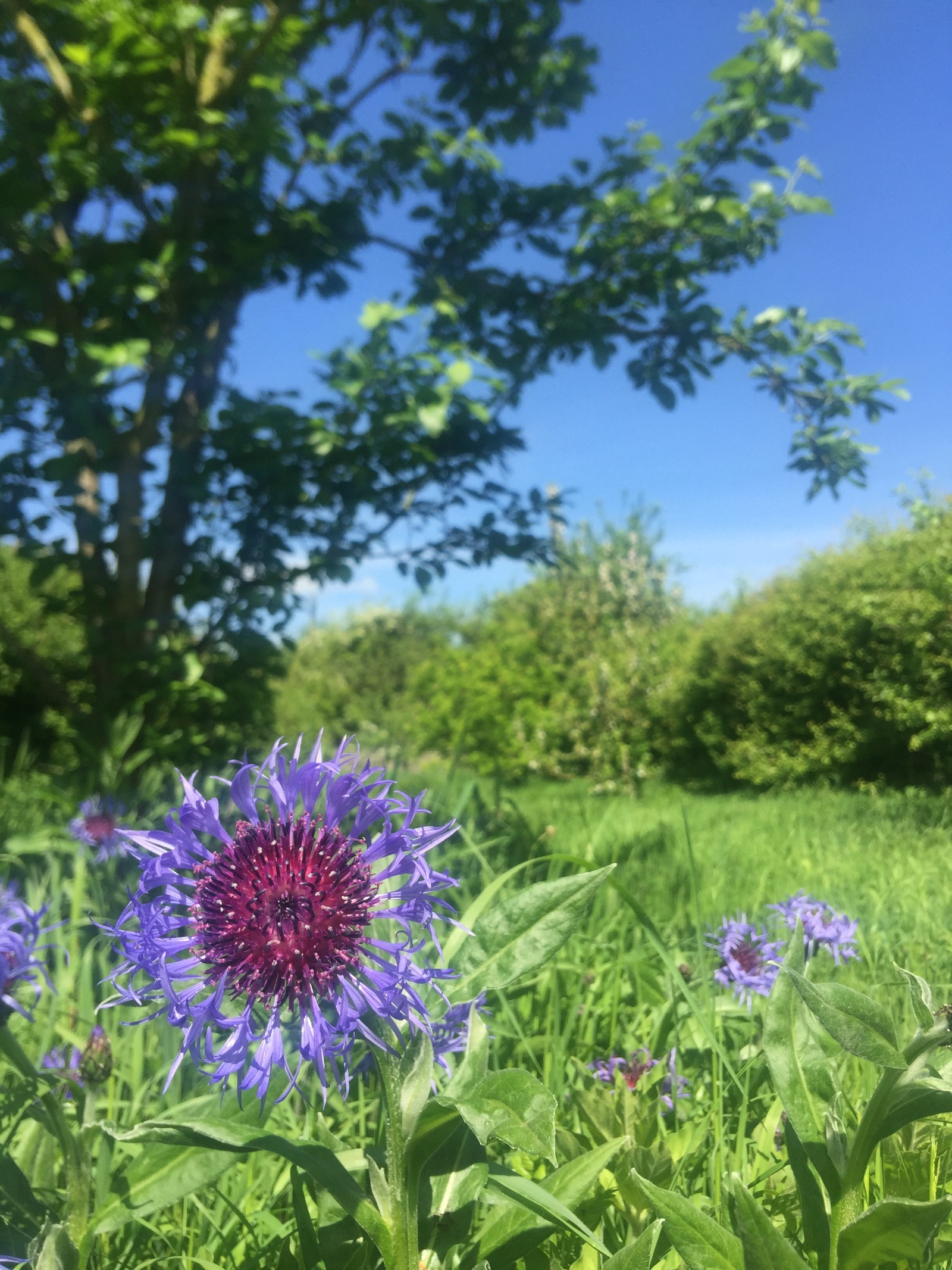 purple wildflowers in bloom in our lovely orchard